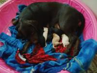 8 AKC Labrador Retriever Puppies Born on July 29th and