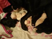 10 AKC Labrador Retriever Puppies Born on July 2nd will