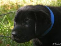 AKC full registration. Black Labrador Puppies. Ready to