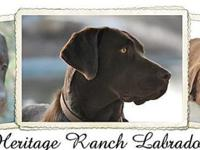 AKC registered, OFA clearances: hips, elbows, & eyes,