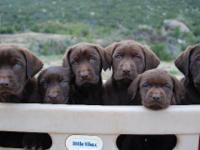 All American AKC Labrador Puppies, Chocolate. Beautiful