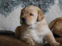 Our Beautiful Blonde Lab is expecting a litter at the