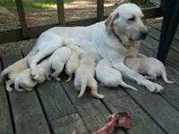 Beautiful blocky headed AKC male Labrador pups.