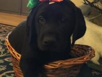 AKC Labrador Puppies, ideal X-Mas present/ Taking