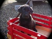 AKC Registered Labrador Puppies available in Yellow and