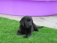Lovely AKC American Labrador Retriever young puppies