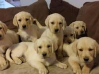 AKC Labrador Puppies, Yellow. Beautiful and pure breed.