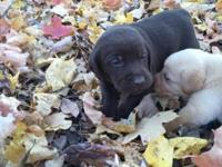 AKC Labrador Puppies, Kellogg blood lines. They are 3