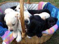 Black or white pups. Readily available October 11th for