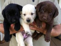 Beautiful Blocky AKC Labs, Chocolate, Yellow, and