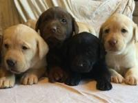 AKC signed up Labrador Retriever Puppies for sale. All