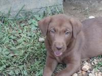 Akc reg labradors 8 wks old July 4th. All puppies are