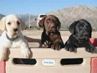 All American AKC Labrador Puppies, Chocolate, yellow