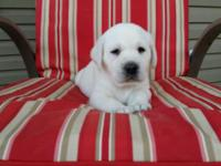 Beautiful, light cream/ white puppies with English