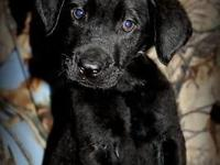 This is Gunner he is a black Akc Labrador retriever