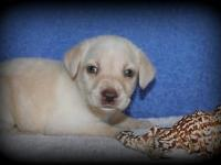 This little girl is Marley. She is an AKC Labrador