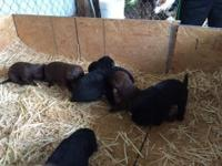 AKC LABRADOR RETRIEVER CHOCOLATE & BLACK AVAILABLE ON