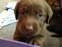 AKC Labrador Retriever Chocolate puppies for sale in