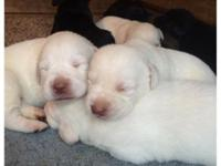 White AKC Labrador Retriever puppies for sale! One