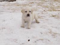 AKC Labrador Retriever male puppy for sale. Fonze is a