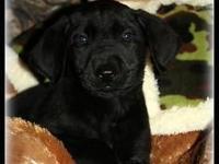 This is Moose. He is a black AKC Labrador Retriever