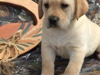AKC English Labrador Retriever pups. Beautiful, smart