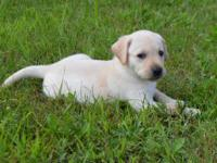 Labrador Retriever pups. Blossom and Denver had their
