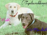 We have 10 chocolate and black AKC labrador retriever