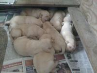 AKC Yellow Labrador Retriever puppies 6 males and 4