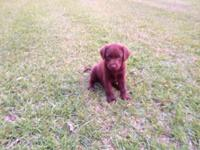 All set immediately AKC Chocolate Labrador Retriever