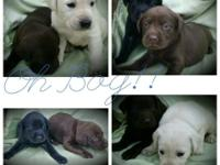 AKC Labrador Retriever young puppies available.