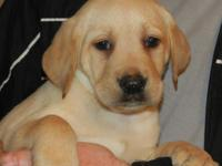 Labrador Retrievers puppies ready now. We have 2 yellow