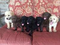 7 AKC reg Labrador Retriever puppies. 2 males and 5