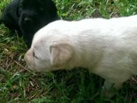 AKC Registered LABRADOR RETRIEVER PUPPIES Great for