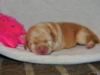 We have a litter of AKC Lab puppies that was born on