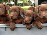 AKC Registered Labrador Retriever puppies. Chocolate
