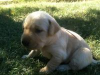 AKC purebred Labrador retriever puppies. These pups