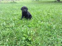 Have male & female black or chocolate lab puppies. AKC