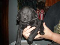 AKC LABRADOR RETRIEVER PUPPIES - BLACK / YELLOW AKC,