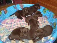 A.K.C. Labrador Retriever Puppies - Chocolate Females