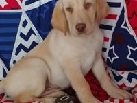 AKC Labrador retriever Puppies. English Lines. Big