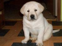 Labrador Retriever pups for sale Ivory, Yellow, White.