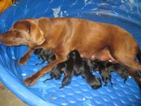 Lady and BB had 10 puppies 6 females and 4 males on