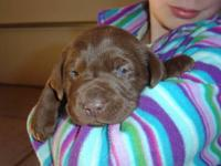 First litter from our sweet tempered chocolate lab. We