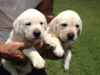 Beautiful AKC Labrador retriever puppies. Very large