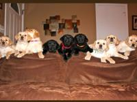 Purebred Labrador Reteiever Puppies looking for a new