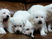 We are a hobby breeder of English Labrador Retrievers.
