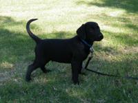 Happy Healthy AKC Labrador Retriever puppy from