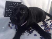 FEMALE BLACK LABRADOR PUPPY that is READY TO GO HOME