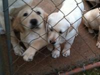 AKC Registered Yellow Labrador Retrievers FOR SALE We
